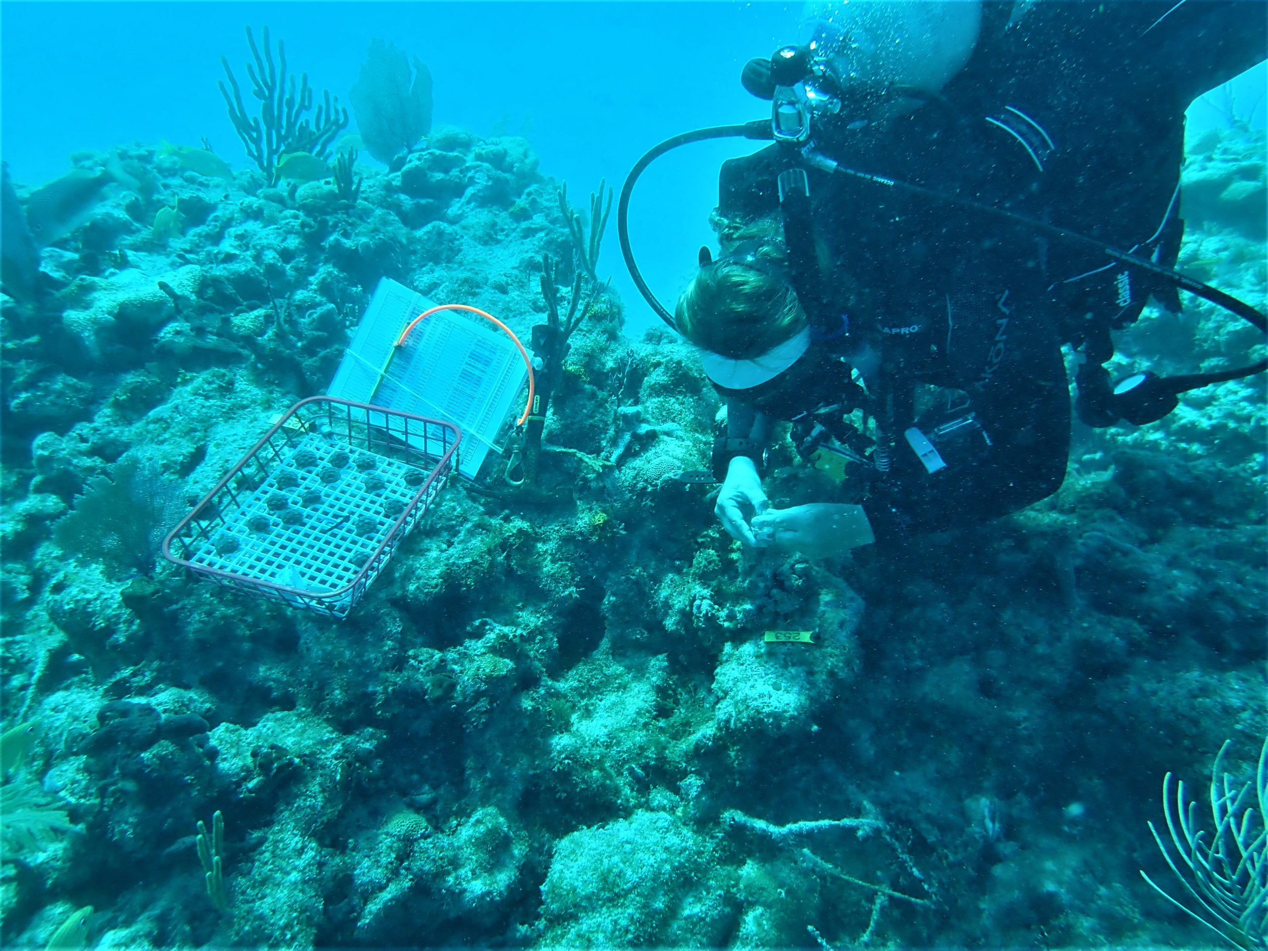 Kylie outplanting coral